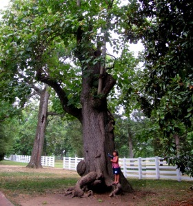 A 200 year old hickory tree